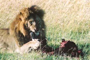 le-lion-3